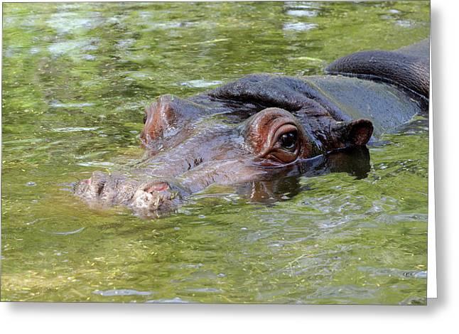 Hippopotamus Greeting Card by Heiti Paves