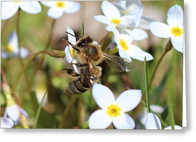 Honeybee On Bluet Greeting Card