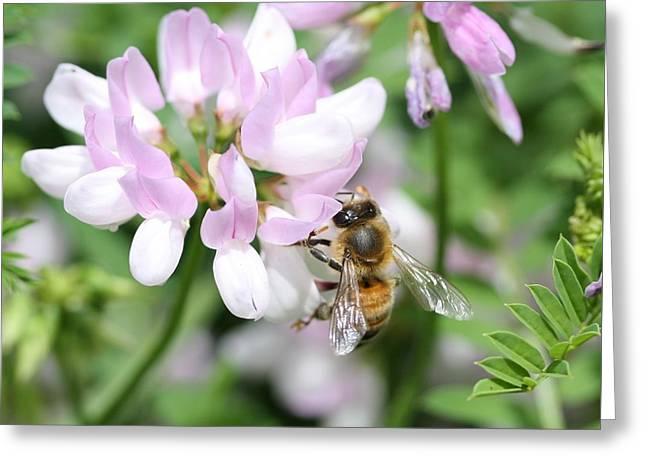 Honeybee On Crown Vetch Greeting Card