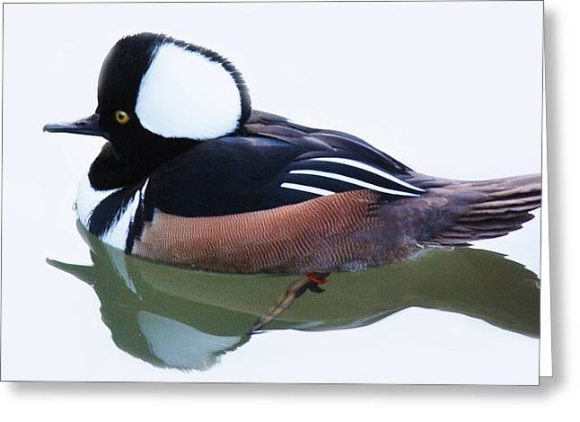 Hooded Merganser Greeting Card by Paulette Thomas