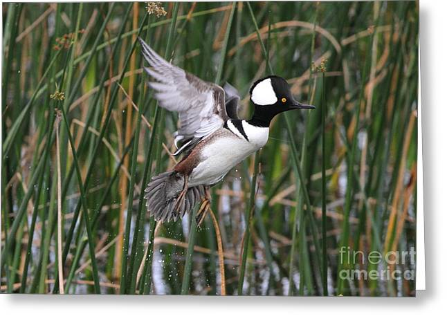Greeting Card featuring the photograph Hooded Merganser Take-off by Jennifer Zelik
