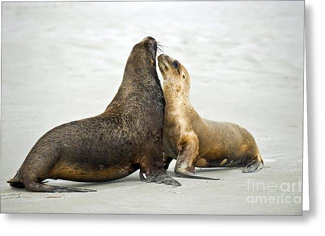 Hookers Sea Lions Greeting Card by Tony Camacho