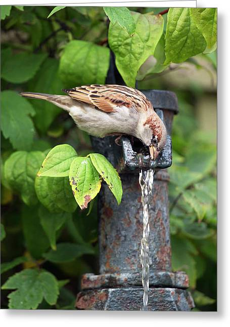 House Sparrow Drinking Water Greeting Card