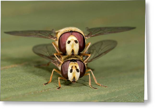 Hover-flies Greeting Card by Nigel Downer