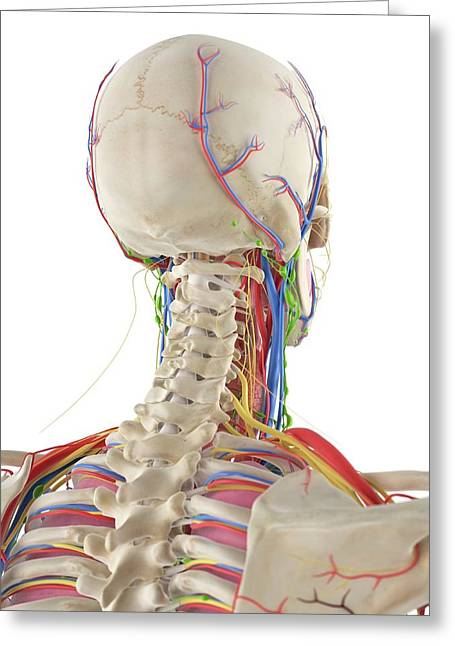 Human Head And Spine Greeting Card by Sciepro