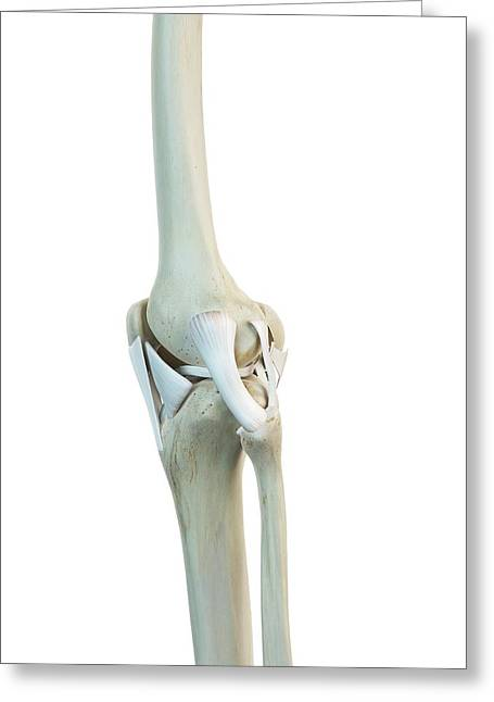Human Knee Ligaments Greeting Card by Sciepro