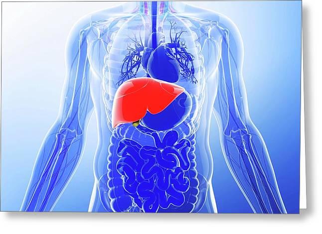 Human Liver Greeting Card by Pixologicstudio