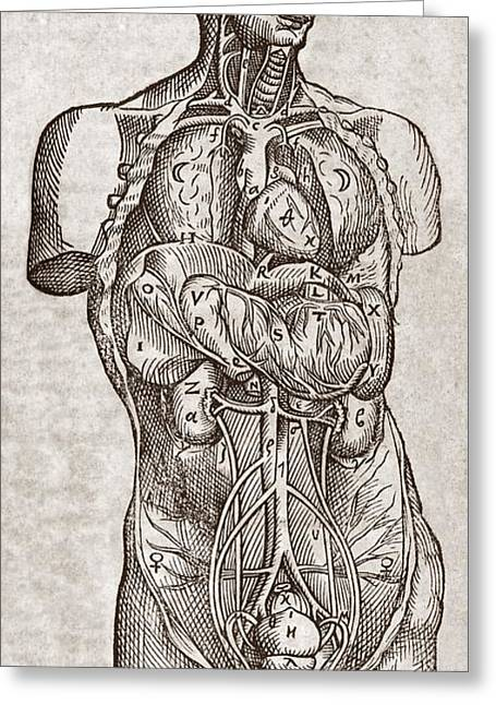 Human Male Torso, 16th Century Greeting Card by Middle Temple Library