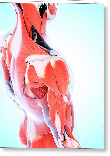 Human Muscular System Of The Shoulder Greeting Card by Sebastian Kaulitzki