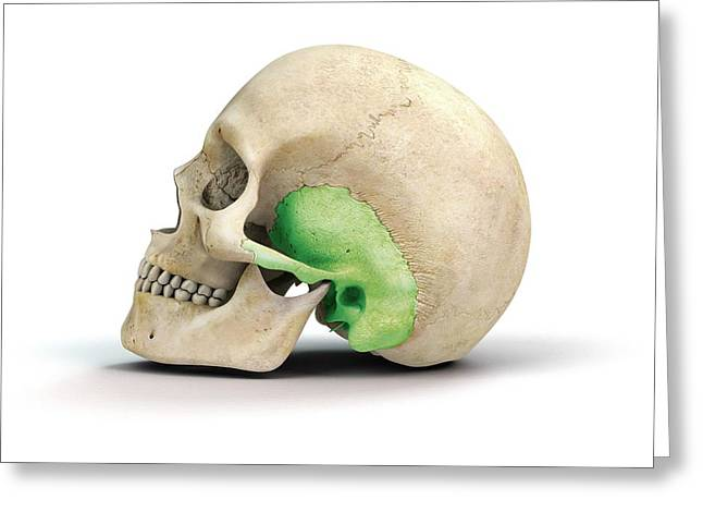 Human Skull And Temporal Bone Greeting Card by Mikkel Juul Jensen