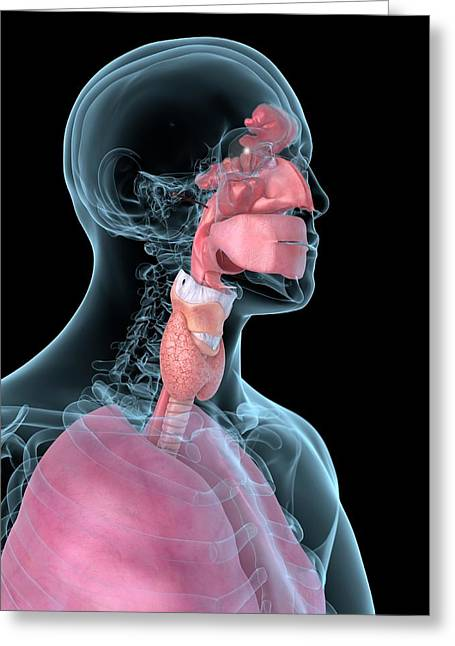 Human Throat Greeting Card by Sciepro