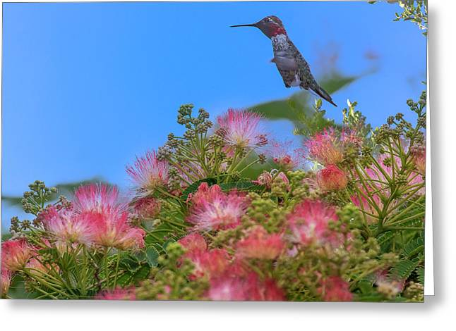 Hummingbird Feeding Off Silk Tree Greeting Card