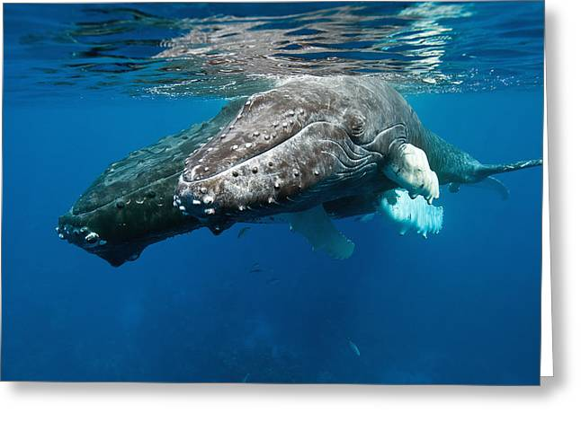 Humpback Whale And Calf Greeting Card by Andrew J. Martinez