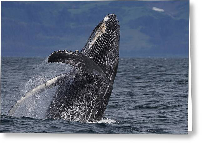 Humpback Whale Breaching Prince William Greeting Card