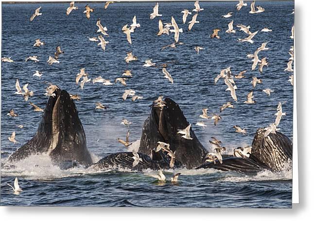 Humpback Whales Feeding With Gulls Greeting Card