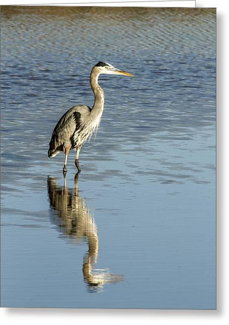 Hunting Great Blue Heron Greeting Card