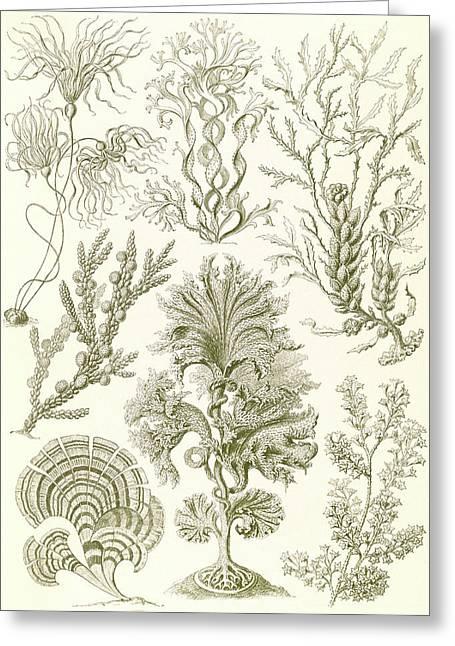 Illustration Shows Algae. Fucoideae. - Brauntange Greeting Card