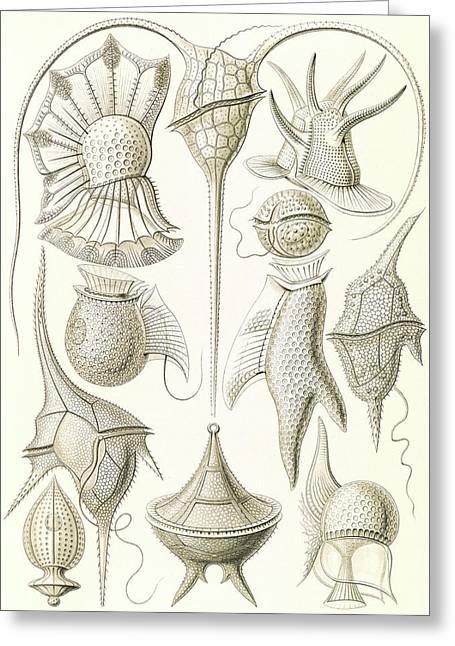 Illustration Shows Microorganisms. Peridinea Greeting Card by Artokoloro