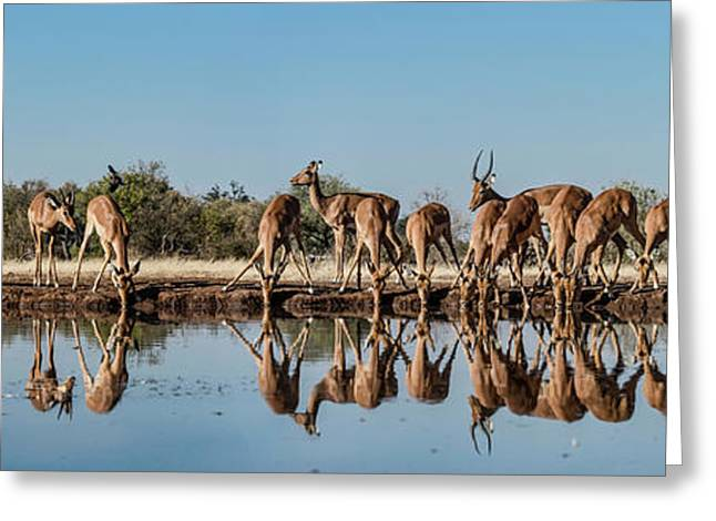 Impalas Aepyceros Melampus Greeting Card