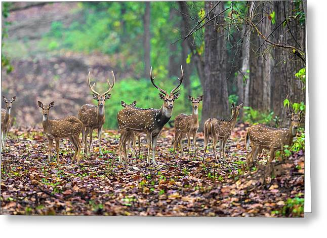 India Chital, Spotted Deer (axis Axis Greeting Card