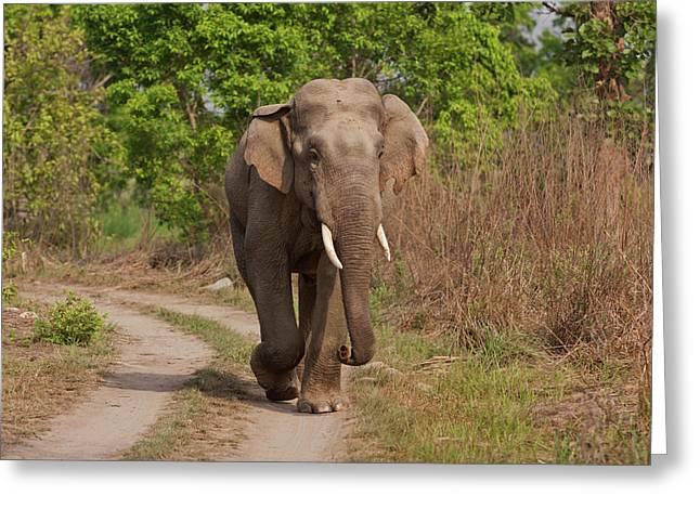 Indian Asian Elephant, Tusker Greeting Card by Jagdeep Rajput