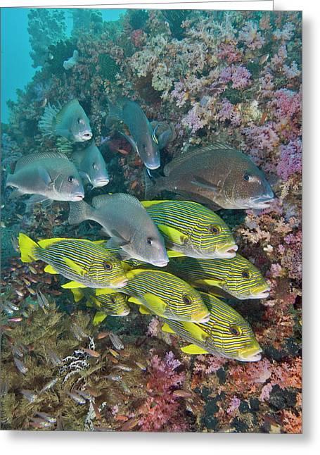 Indian Ocean, Indonesia, Fakfak, Triton Greeting Card by Jaynes Gallery