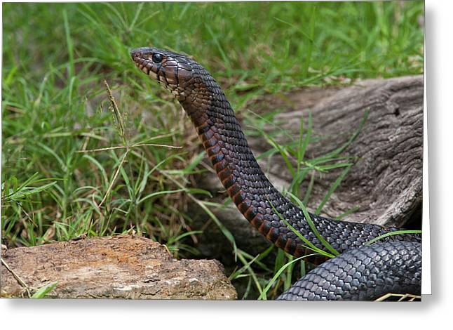 Indigo Snake (drymarchon Corais Greeting Card by Larry Ditto