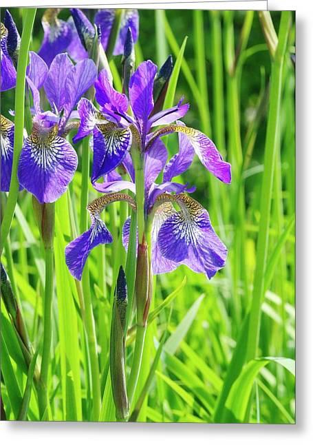 Iris Sibirica 'cambridge' Greeting Card by Neil Joy/science Photo Library