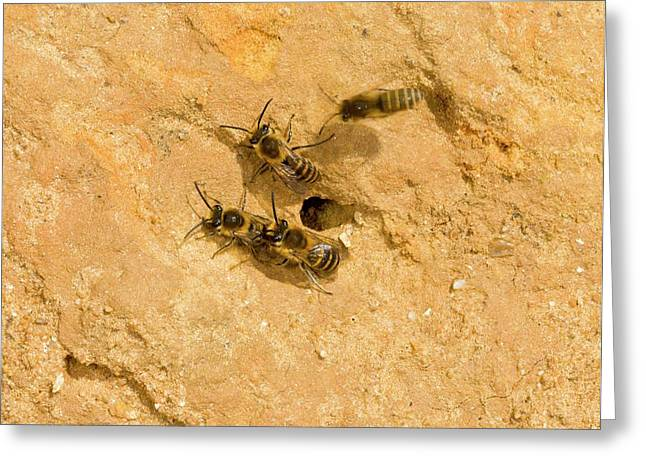 Ivy Bees Nesting In A Cliff Greeting Card by Bob Gibbons
