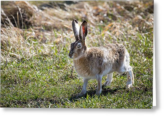 Jackrabbit Greeting Card