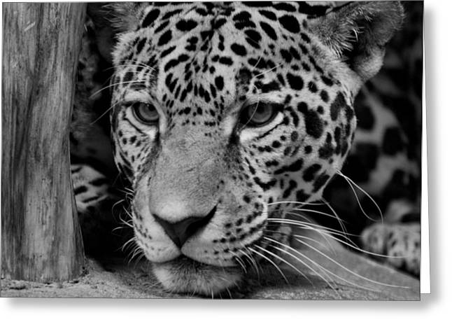 Jaguar In Black And White II Greeting Card by Sandy Keeton