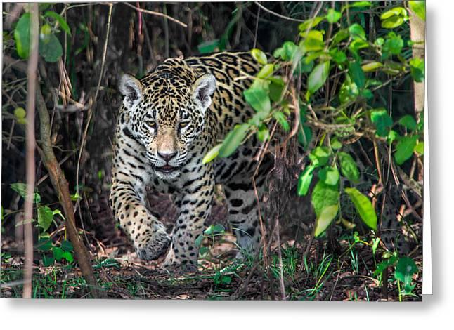Jaguar Panthera Onca, Pantanal Greeting Card