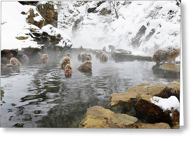 Japanese Macaques In A Hot Spring Greeting Card by Dr P. Marazzi