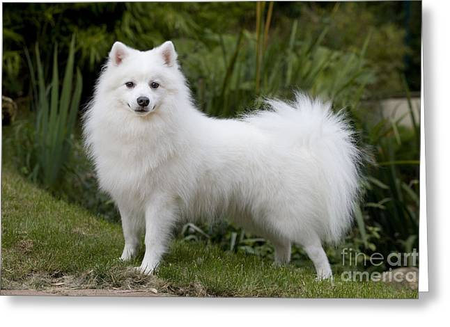 Japanese Spitz Dog Greeting Card
