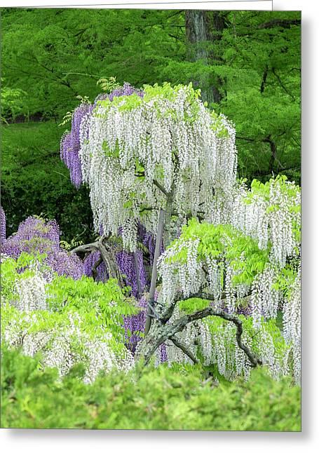 Japanese Wisteria, Longwood Gardens Greeting Card