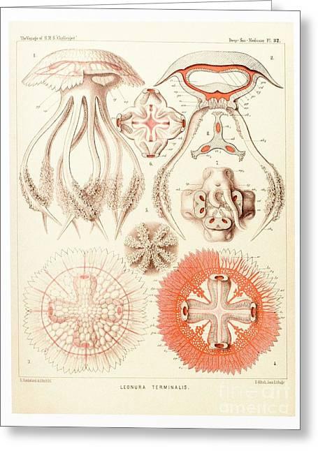Jelly Fish, Artwork Greeting Card by Mehau Kulyk