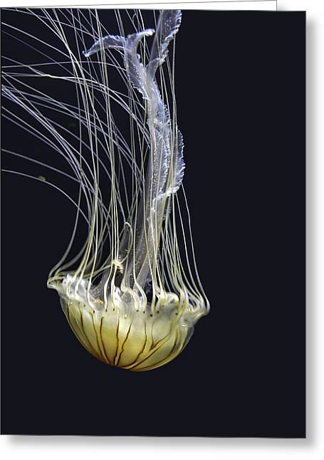 Jellyfish Of Aquarium Of The Bay San Francisco Greeting Card