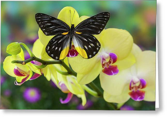 Jezebels Butterfly, Delias Species Greeting Card by Darrell Gulin