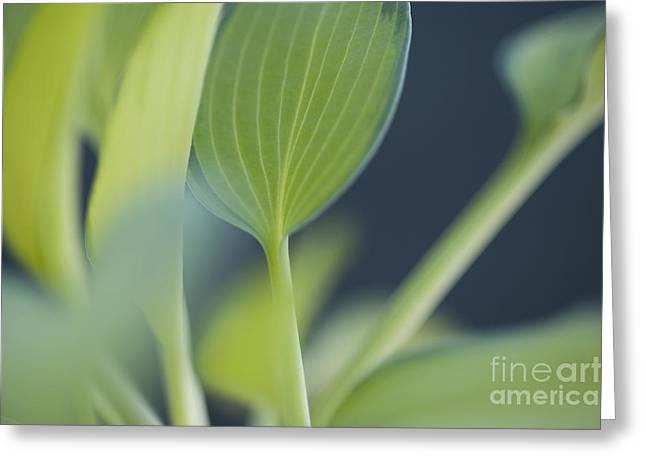 June Plantain Lily Close Ups Greeting Card by Jim Corwin