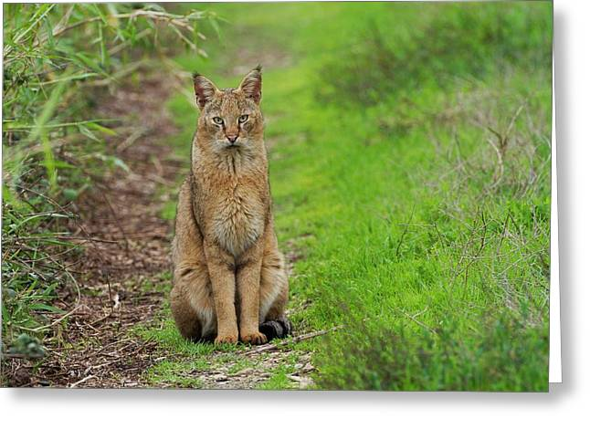 Jungle Cat (felis Chaus) In The Wild Greeting Card by Photostock-israel