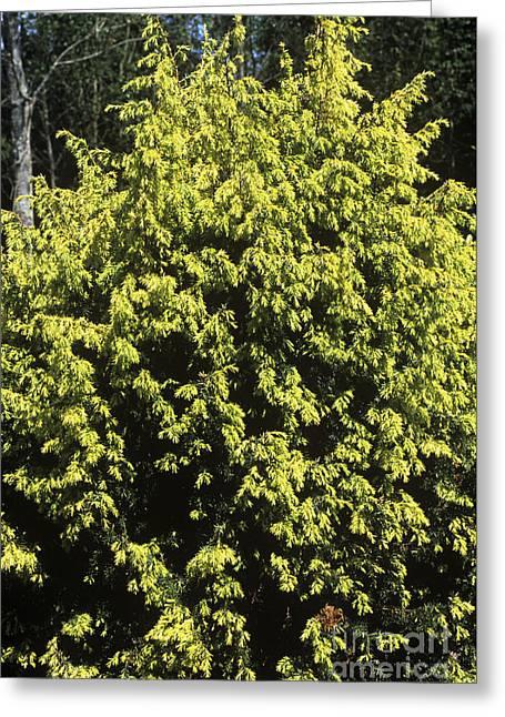 Juniperus Communis Golden Showers Greeting Card by Adrian Thomas