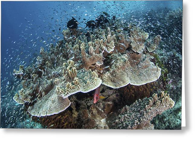 Juvenile Fish Swarm Around A Coral Greeting Card by Ethan Daniels