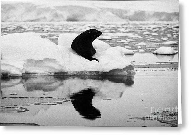 juvenile fur seal looking straight to camera floating on iceberg in Fournier Bay Antarctica Greeting Card by Joe Fox