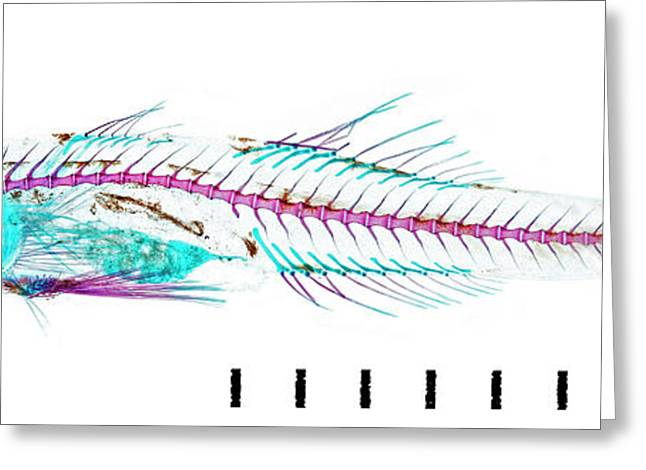 Juvenile Goby Greeting Card by Natural History Museum, London