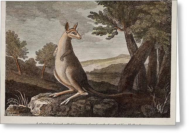Kangaroo Greeting Card by Paul D Stewart
