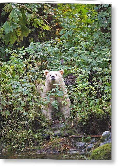 Kermode Or Spirit Bear Greeting Card by M. Watson
