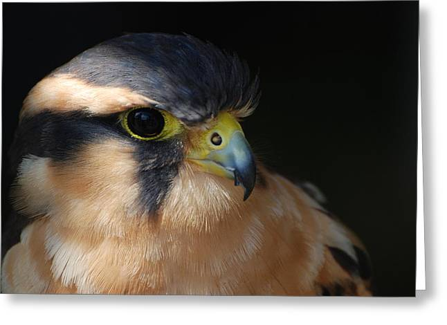 Kestrel Falcon Greeting Card