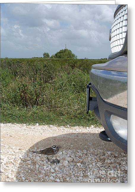 Killdeer Defending Nest Greeting Card