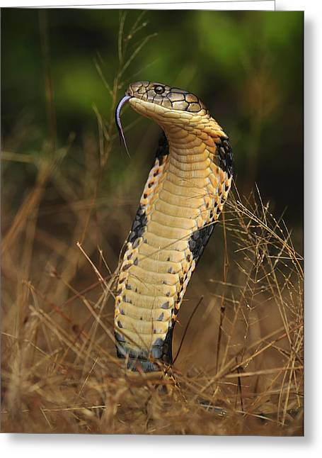 King Cobra Agumbe Rainforest India Greeting Card by Thomas Marent