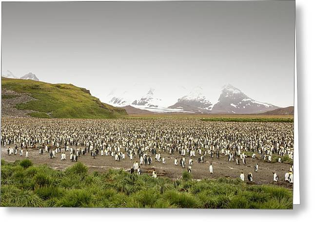 King Penguin Colony On Salisbury Plain Greeting Card by Ashley Cooper